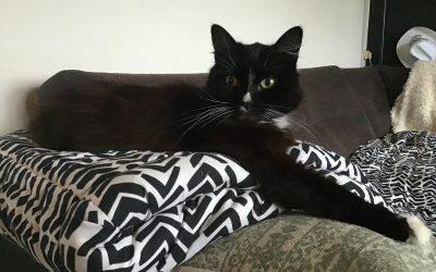 Bas, zwarte kater (boskat) met witte snorharen, sneb en voetjes. Heeft verhuizing niet doorstaan en is er sinds 20-1 van tussen.