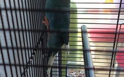 Kakariki vogel